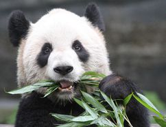 The Toronto Zoo's Panda Passage exhibit has been moved to the zoo in Calgary after a five-year period in Toronto, but travel writer Bob Boughner says Ontario residents need not worry. The Toronto Zoo still has 5,000 animals representing 450 different species, and although the pandas have left the building, the zoo is still worth visiting. (File photo)