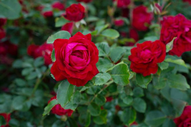 The Canadian Shield is a new introduction from Vineland Research and Innovation is a great new rose bush. A shrub rose, it matures to 125 cm high, has a soft, sweet fragrance and is extremely winter hardy.
