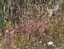 A deer peeks through the grass outside Smiths Falls Ontario Sept 6, 2016. (Tony Caldwell/Postmedia Network)