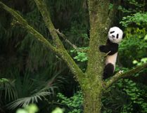 """This image released by Warner Bros. Pictures shows a giant panda cub in a scene from the IMAX documentary """"Pandas."""" The film, from David Douglas and Drew Fellman, takes audiences to the Chengdu Research Base For Giant Panda Breeding in China where scientists are working toward a goal of releasing captive-born pandas into the wild, where only about 2000 remaining pandas live. (Drew Fellman/Warner Bros. Pictures via AP)"""