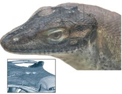 """Senckenberg Gesellschaft für Naturforschung / Andreas Lachmann / Digimorph.org Reconstruction of 49 million-year-old fossil lizard """"Saniwa ensidens"""" with transparent skull overlay. The third and fourth """"eyes"""" are visible as two white dots on the top of the skull."""