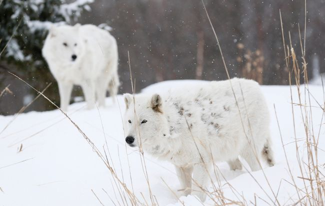 Do you know where the word wolf comes from? Wordwise has the answer. Postmedia Network