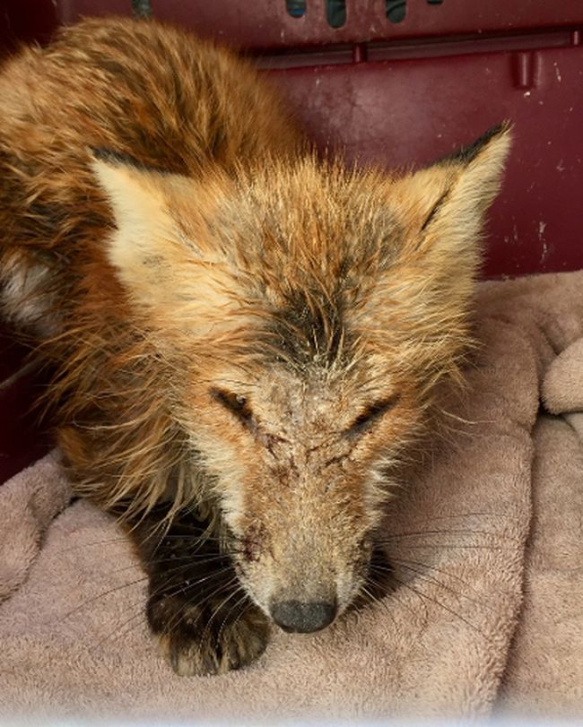 Although this red fox was suffering from mange when it was found outside of a hockey arena in Saskatchewan, it will likely be reintroduced back into the wild following treatment at Salthaven West in Regina. (Megan Lawrence/Special to Postmedia News)
