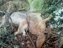 The carcasses of 15 coyotes were found in a ditch along Township Road 515A, in the North Cooking Lake area south of Sherwood Park.