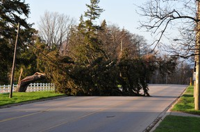 Strong winds Friday toppled trees throughout Brantford and Brant County, including this one blocking the road at Farrington Hill on Mount Pleasant Road. (Photo by N. Ross de St. Croix)