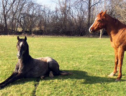 Submitted photo Horses which escaped from a farm in Tyendinaga Township northeast of Belleville occupy another property Tuesday, May 1.