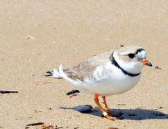 A piping plover at Sauble Beach. DENIS LANGLOIS/THE SUN TIMES