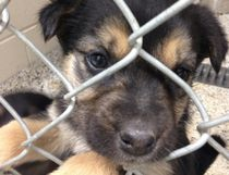 A puppy peers through the mesh of a kennel at the SPCA on Sunday. The little guy was part of a litter of five taken in during a shipment of dogs from remote communities. (Jim Moodie/Sudbury Star)