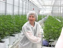 Master horticulturalist Francoise Levesque notes that High Park Farms, near Petrolia, harvests only the flowers of the cannabis plant which it markets to the medical market. John Phair/Special to Postmedia