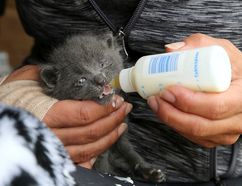 A three-week-old kitten is bottle fed by Spay Neuter Kingston initiative volunteer Romana Maj at a large feral cat population in a barn about 40 kilometres north of Kingston on Friday, May 25, 2018.