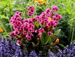 Bergenia attract a host of bumblebees, which are fun to watch. Flowering now in the garden, Bergenia features evergreen foliage and bright pink flowers about 80-cm tall. Look for the new 'Flirt' bergenia for sun to part shade.