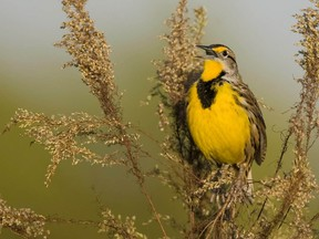 The eastern meadowlark is a medium-sized, migratory songbird, about 22 to 28 centimetres long, with a bright yellow throat and belly, a black V on its breast and white flanks with black streaks.POSTMEDIA NETWORK