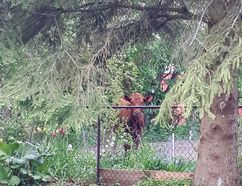 This wayward steer from Waverly Heights is caught peeping through the trees in this photo taken Saturday from Kevin and Charlene McKenzie's yard in Owen Sound. (Charlene McKenzie photo)
