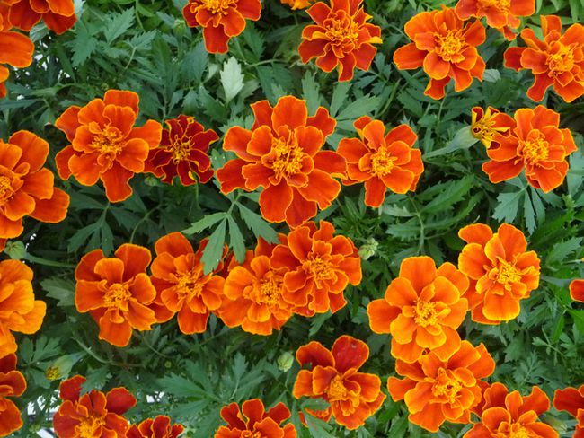 Marigolds, like several plants, provide a great benefit by being a mosquito repellent. John DeGroot photo