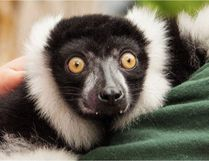 JC, a black-and-white ruffled lemur recently stolen from an Ontario zoo, was recovered in Quebec overnight, OPP said Sunday. Supplied