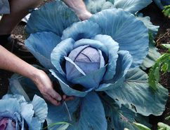 Supplied photo Cabbage requires warm, rich, well-drained soil. The plants have a shallow root system which makes them sensitive to weeds and uneven watering. Water plants deeply (2.5 cm) once a week.
