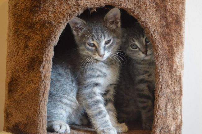 A pair of kittens dubbed Dusty and Silver -- one male, one female -- gaze out from a climbing tower Wednesday at the new location of Whiskers Kitty Cat Shop on Edna Street. The two arrived in Sudbury earlier this spring inside an excavator that was hauled north from Toronto, and both are now available for adoption -- as a duo. (Jim Moodie/Sudbury Star)