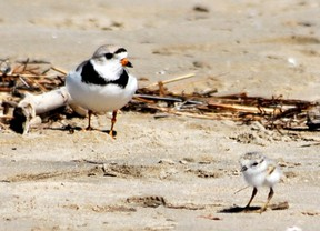 An adult piping plover keeps an eye on one of its two-day-old chicks at Sauble Beach on Friday, June 15, 2018. DENIS LANGLOIS/THE SUN TIMES