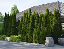 Supplied photo Evergreens make a great screen or permanent hedge; large evergreens like spruce, pine and fir provide privacy and nesting areas for song birds.