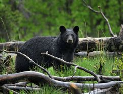 A Northern Ontario bear hunt outfitter is feeling left out after being advised that he must soon begin providing paperwork to the Ontario Ministry of Natural Resources online with a computer. Willy Woodfine said he is worried because he lives in a remote hunt camp where there is no Internet service and he has never used a computer.