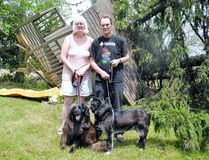 Dan and Shelley McKenzie of Waterford have a major cleanup on their hands after an EF-2 tornado last week toppled nearly 20 mature spruce trees. MONTE SONNENBERG / SIMCOE REFORMER