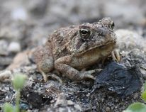 Fowler's toad (Getty Images)