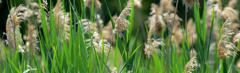The Elgin Phragmites Working Group (EPWG) is calling on the Municipality of West Elgin to create a plan to control the spread of the aggressive weed. File photo/Postmedia Network