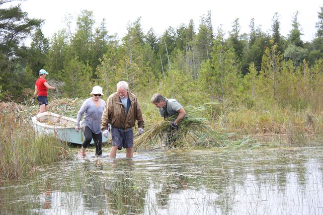 Missy Wright (left), June Wright, Colin Dyke and Rob McKinnon, cottagers at the Oliphant Fishing Islands, tackled invasive Phragmites australis around the islands on Aug. 4 last year. The Oliphant Fishing Islands Phragmites Group hopes to raise $15,000 this year to rent machinery to cut a nine-acre stand of the plant which proved impossible to deal with manually in 2017. Submitted photo