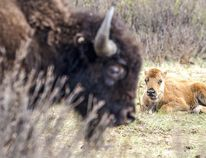 A bison calf takes a nap while its mother watches in Banff National Park.