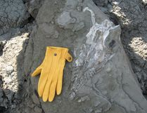 The skull of a plesiosaur, next to a glove for comparison, in this June 2018 photo supplied by Syncrude Canada.