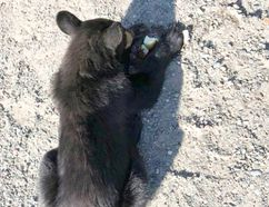 A bear cub lies on the roadside after being struck by a vehicle near Skead. Greater Sudbury Police officers dispatched the animal as they felt it was too badly injured to survive. (Photo supplied)