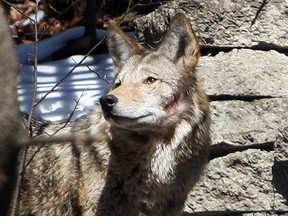 A coyote spotted in the Beach on March 27, 2011. (VERONICA HENRI/Toronto Sun files)