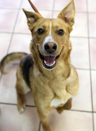 Carmen, a one-and-a-half-year-old female Labrador/shepherd cross, needs a loving home. All animals featured this week were available at Winnipeg Animal Services, as of March 14, 2011. (BRIAN DONOGH/Winnipeg Sun)