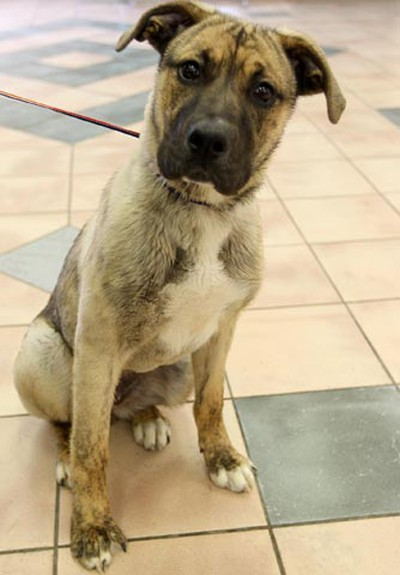 Galaxy, a seven-month-old female mastiff mix, needs a loving home. All animals featured this week were available at Winnipeg Animal Services, as of March 14, 2011. (BRIAN DONOGH/Winnipeg Sun)