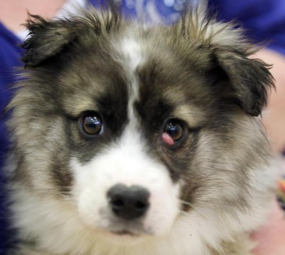 Graffiti, a four-month-old female sheltie mix, needs a loving home. All animals featured this week were available at Winnipeg Animal Services, as of March 14, 2011. (BRIAN DONOGH/Winnipeg Sun)