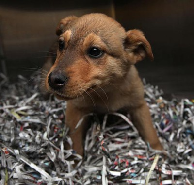 Jasper, a male shepherd mix puppy, needs a loving home. All critters featured this week were available at the Winnipeg Humane Society as of Monday, March 7, 2011. (MARCEL CRETAIN/Winnipeg Sun)