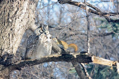 A beautiful great horned owl spends time in the tree of a local yard, sparking the attention of its residents and a daring red squirrel who got in quite close to check him out. (KIM BASSEY/For The Winnipeg Sun)
