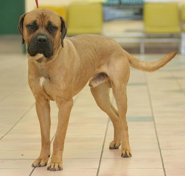 Sarge, a ten-month-old male bull mastiff, needs a loving home. All Sun critters featured this week were available for adoption at the City of Winnipeg Animal Services Agency, as of Jan. 24, 2011. (MARCEL CRETAIN/Winnipeg Sun)