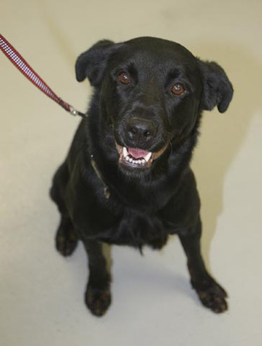 Bear, a three-year-and-nine-month-old female Rottweiler/Labrador mix, needs a loving home. All animals featured this week were available at the Winnipeg Humane Society, as of Jan. 17, 2011. (BRIAN DONOGH/Winnipeg Sun)