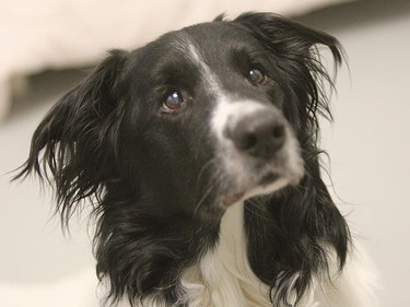 Scrappy, a 12-year-old male border collie mix, needs a loving home. All animals featured this week were available at the Winnipeg Humane Society, as of Jan. 17, 2011. (BRIAN DONOGH/Winnipeg Sun)