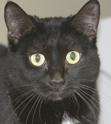 Cuddles, a 14-month-old female domestic shorthair, needs a loving home. All critters featured this week were available at the Winnipeg Humane Society, as of Jan. 11, 2011. (BRIAN DONOGH/Winnipeg Sun)