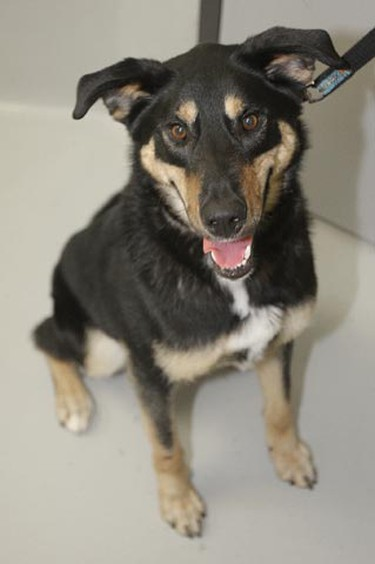 Flare, a two-year-and-six-month-old male shepherd mix, needs a loving home. All critters featured this week were available at the Winnipeg Humane Society, as of Jan. 11, 2011. (BRIAN DONOGH/Winnipeg Sun)