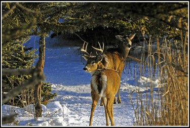 A walk through Fort Whyte Alive Centre on Jan. 9 allows a glimpse of some deer hanging out in the area. (ROBERT E. WILSON/For The Winnipeg Sun)