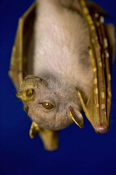 A new species of fruit bat was discovered in the isolated mountains of Papua New Guinea. Around 200 new species were discovered in just two months of field study by an expedition. (WENN.com)