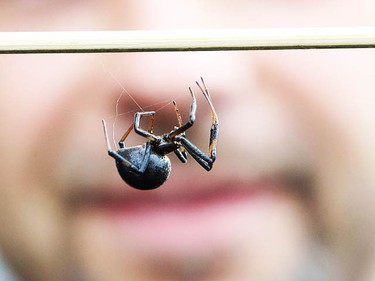 Vito Giglio and Donato Tersigni found an unwelcome visitor as they were making wine from 40 cases of grapes they imported from California. As Giglio went to scoop out the last remaining grapes from the final box, he was startled by what is believed to be a black widow spider. (JACK BOLAND, Toronto Sun)