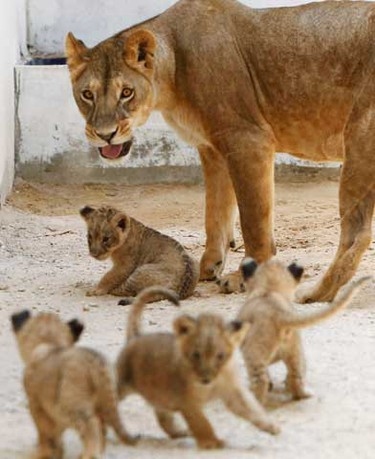 Zeina, the three-year-old lioness, plays with her litter of her newborn cubs inside their cage at Jordan's zoo in Yaduda August 4, 2010. According to the zoo, the four two-month-old cubs made their first public appearance on Wednesday after lions Zeina and Kasser, which originate from Africa, gave birth to them. (REUTERS)