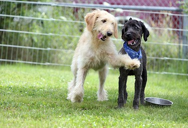 Two rescued dogs enjoy play time in the wake of 17 dogs being rescued from a puppy mill. They now spend their days waiting to be adopted at Uxbridge Animal Control in Durham Region. They were found covered in feces and lice, leaving them shy and in need of special care. (VERONICA HENRI, Toronto Sun)