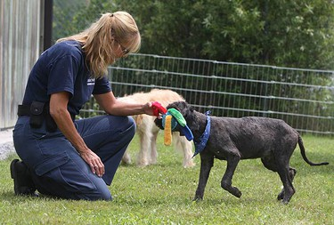 Debby Houghton tries to give one of the rescued dogs a toy in the wake of 17 dogs being rescued from a puppy mill. They now spend their days waiting to be adopted at Uxbridge Animal Control in Durham Region. They were found covered in feces and lice, leaving them shy and in need of special care. (VERONICA HENRI, Toronto Sun)