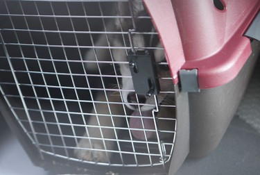 The Husky puppy sits panting in its cage after the doors were unlocked by police and then given water. (Jack Boland/Toronto Sun)