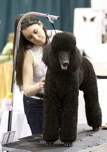 Lori White grooms a poodle during the All About Pets Show held at the International Centre in Mississauga on April 2, 2010. (ALEX UROSEVIC, Toronto Sun)